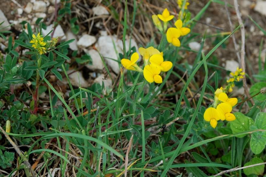 Lotus corniculatus subsp. corniculatus 10
