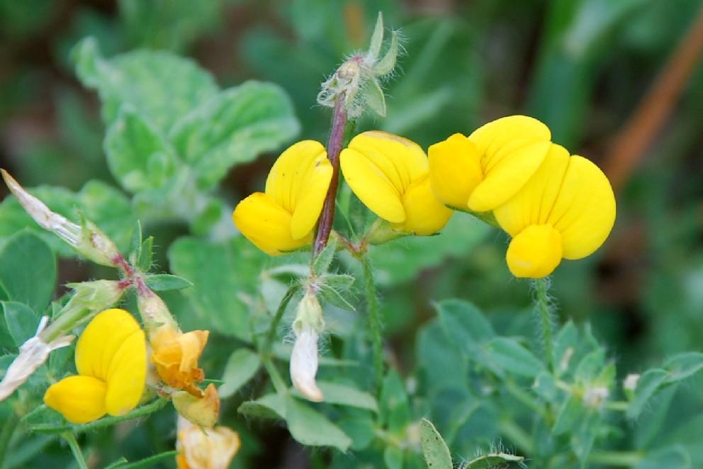 Lotus corniculatus subsp. corniculatus 12