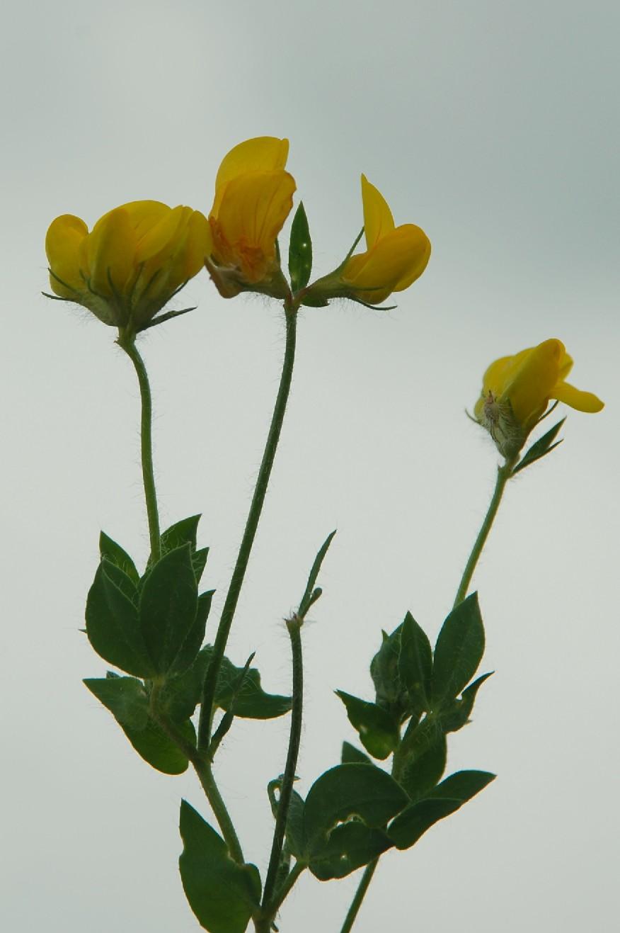 Lotus corniculatus subsp. corniculatus 13