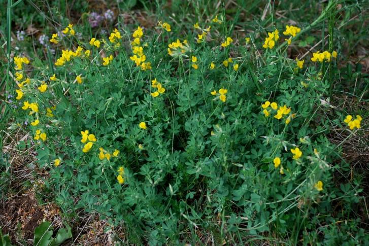 Lotus corniculatus subsp. corniculatus 14