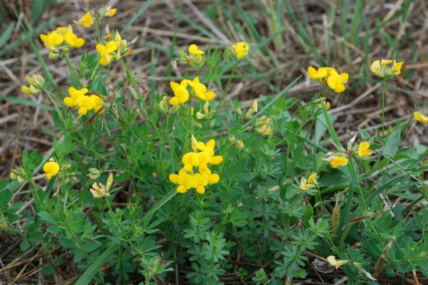 Lotus corniculatus subsp. corniculatus 18
