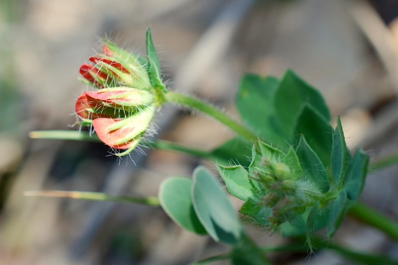 Lotus corniculatus subsp. corniculatus 23