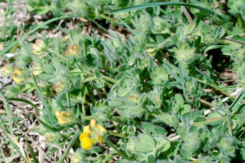 Lotus corniculatus subsp. corniculatus 28
