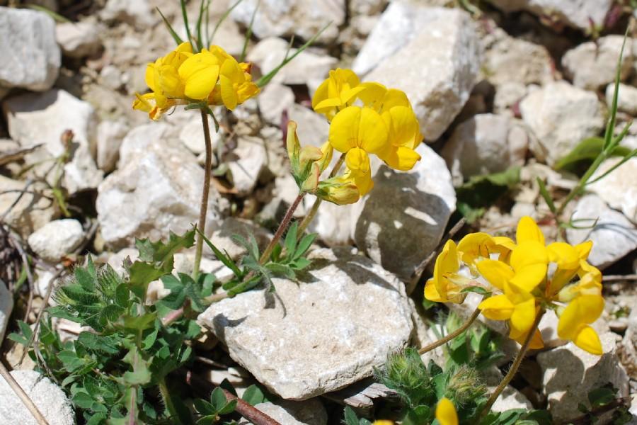 Lotus corniculatus subsp. corniculatus 29