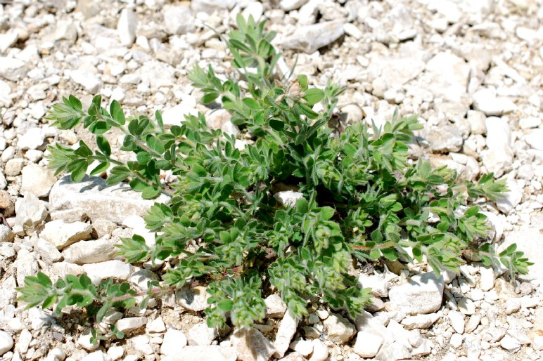 Lotus corniculatus subsp. corniculatus 30