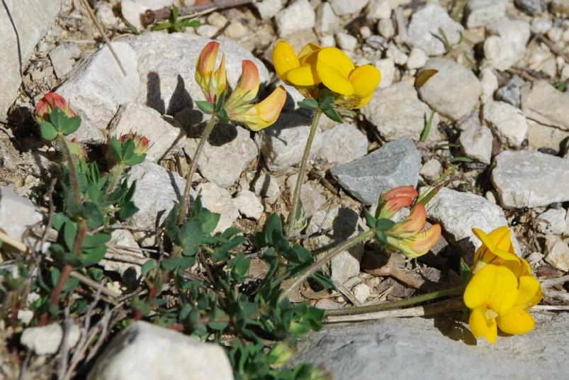 Lotus corniculatus subsp. corniculatus