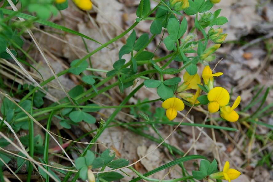 Lotus corniculatus subsp. corniculatus 8