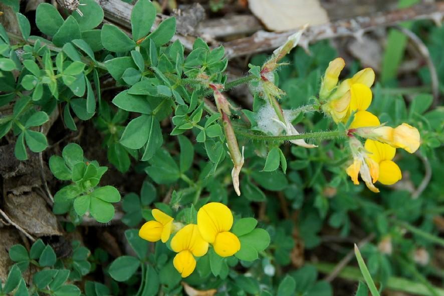 Lotus corniculatus subsp. corniculatus 9