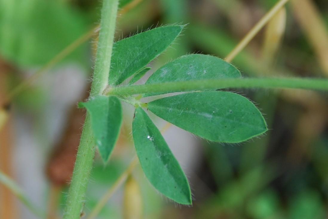 Lotus glaber 16