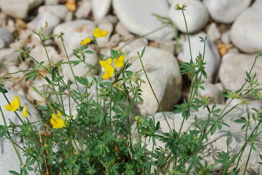 Lotus glaber 19