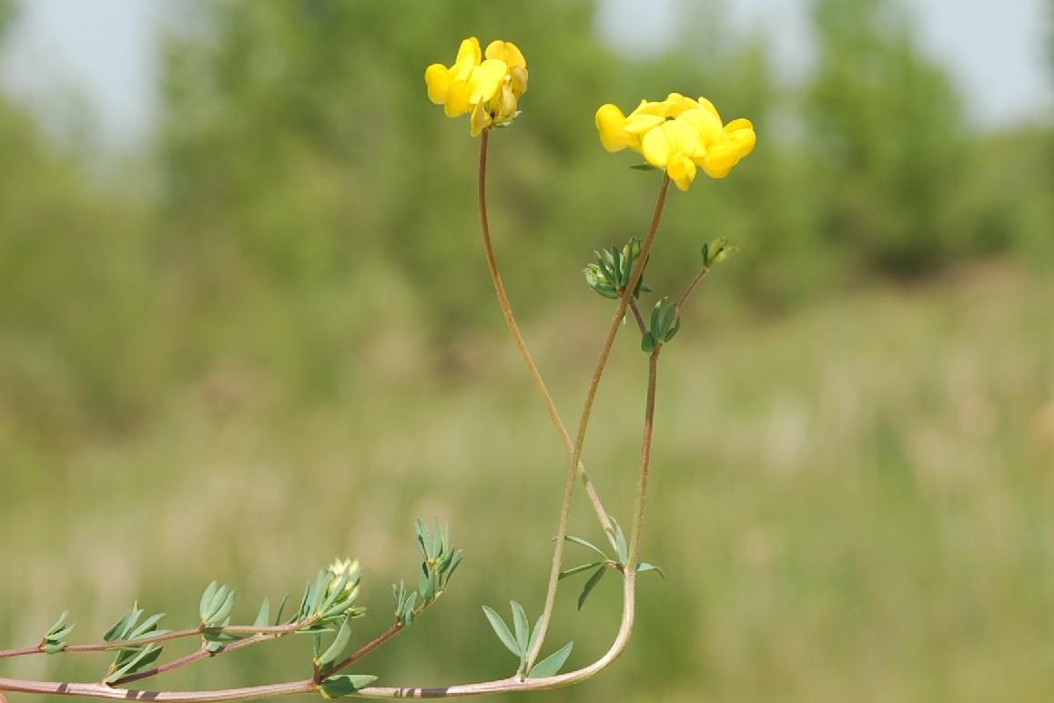 Lotus glaber 5
