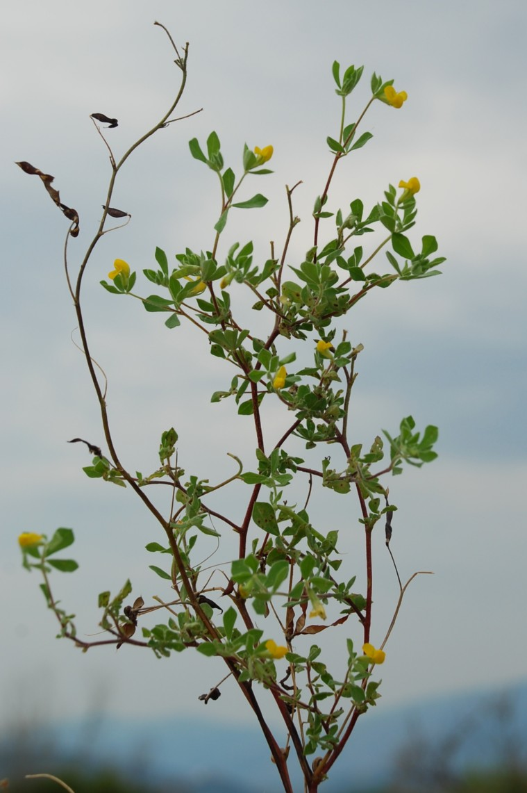 Lotus ornithopodioides 15