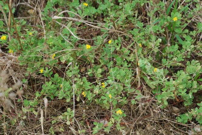 Lotus ornithopodioides 17