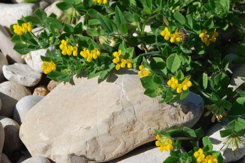 Lotus ornithopodioides 18
