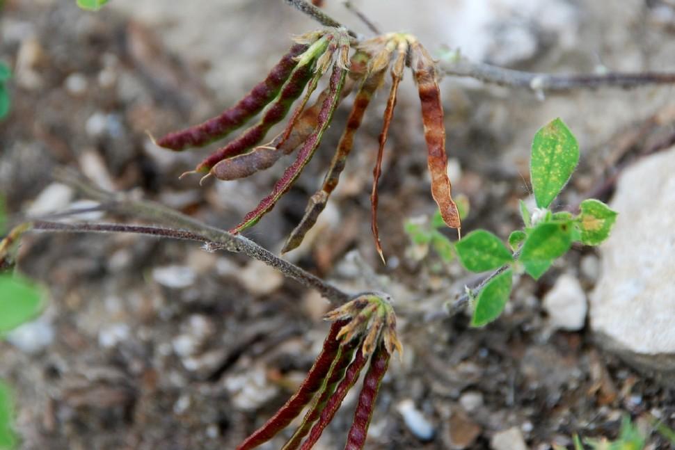 Lotus ornithopodioides 2