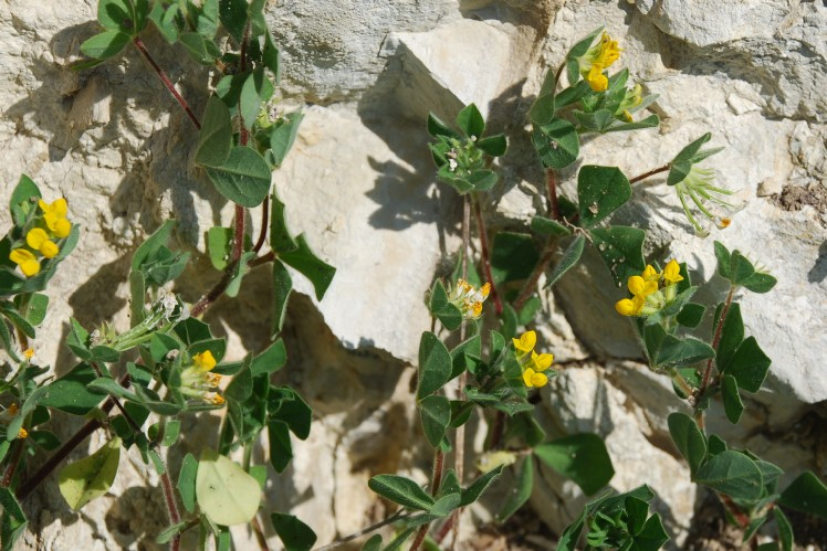 Lotus ornithopodioides 20