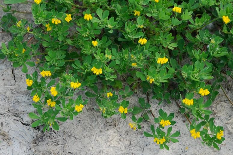 Lotus ornithopodioides 22