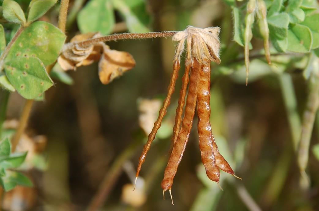 Lotus ornithopodioides 24