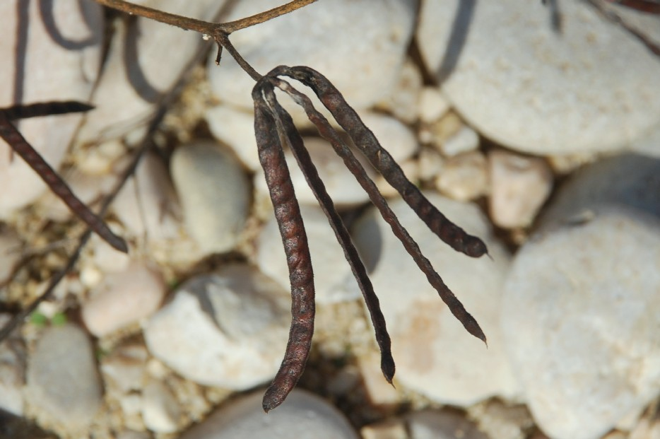 Lotus ornithopodioides 25