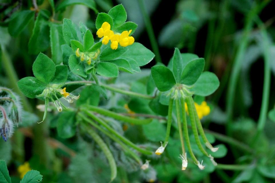 Lotus ornithopodioides 4