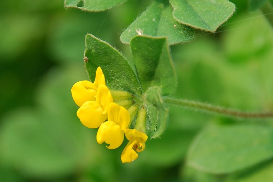 Lotus ornithopodioides 7