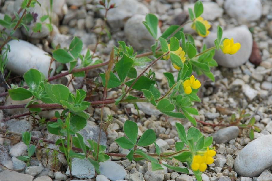 Lotus ornithopodioides 8