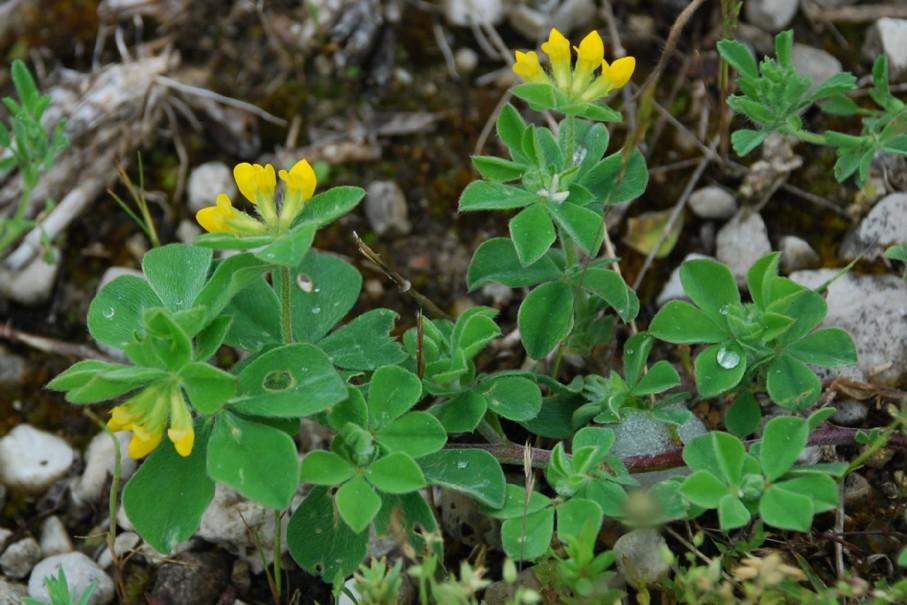 Lotus ornithopodioides 9