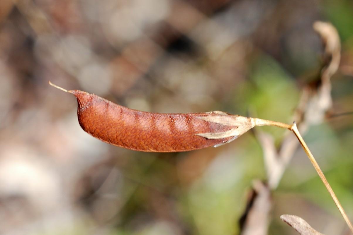Làthyrus aphaca 18
