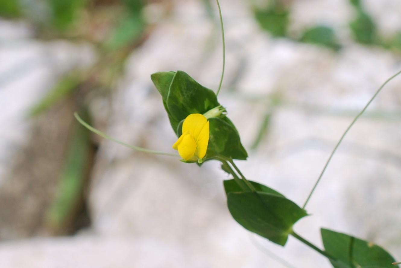 Làthyrus aphaca 19