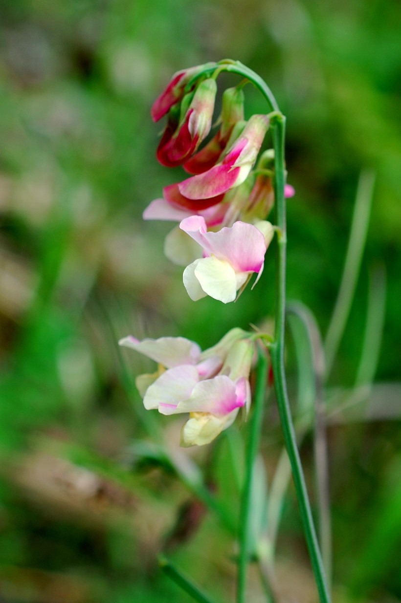 Làthyrus pannonicus subsp. varius 16