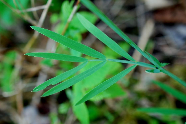 Làthyrus pannonicus subsp. varius 24