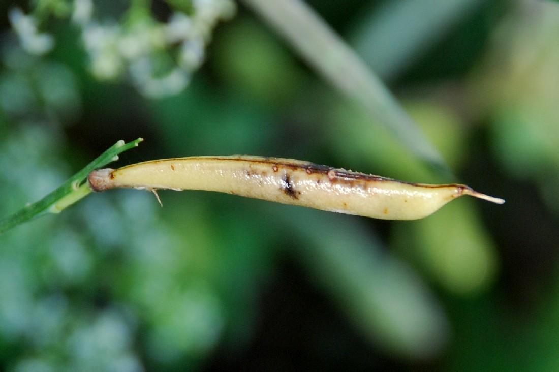 Làthyrus pannonicus subsp. varius 27