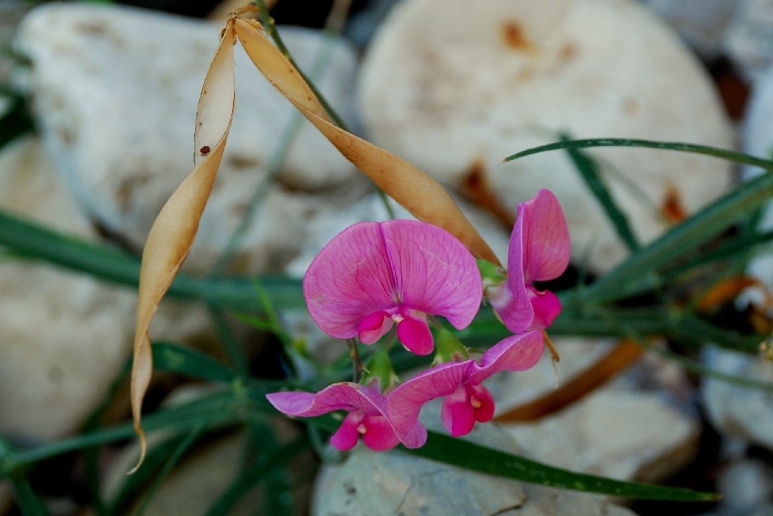 Làthyrus sylvestris subsp. sylvestris 16