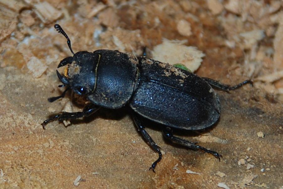 Lucanus tetraodon - Lucanidae