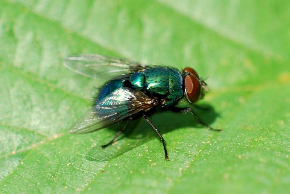 Lucilia sp. - Calliphoridae