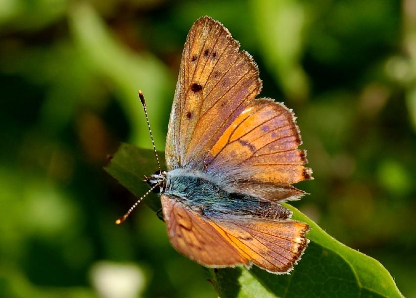 Lycaena alciphron -  Lycaenidae