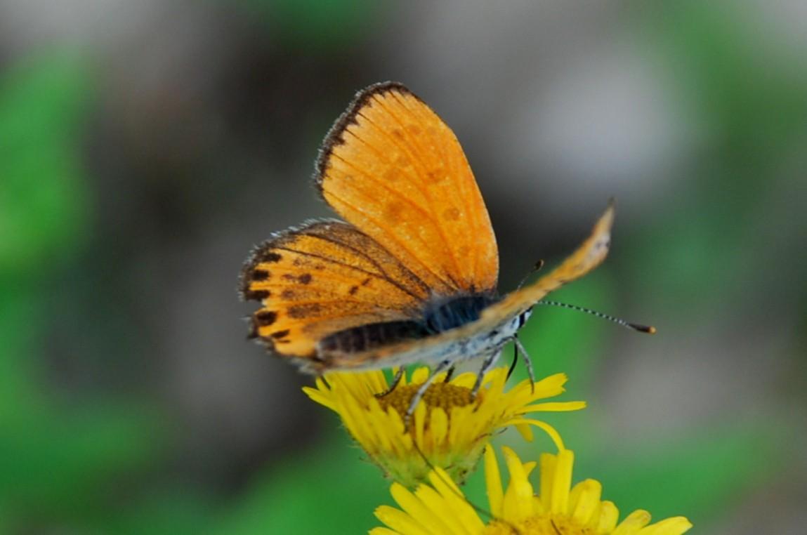 Lycaena thersamon