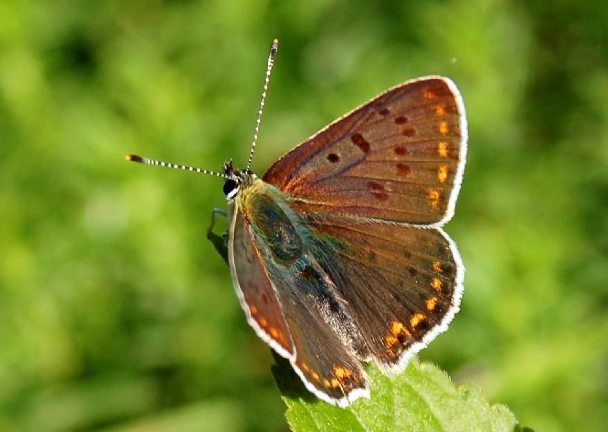 Lycaena tityrus - Lycaenidae