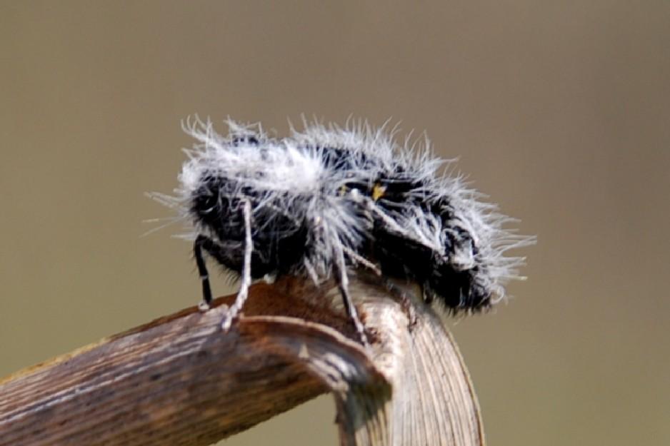 Lycia florentina - (femmina) Geometridae