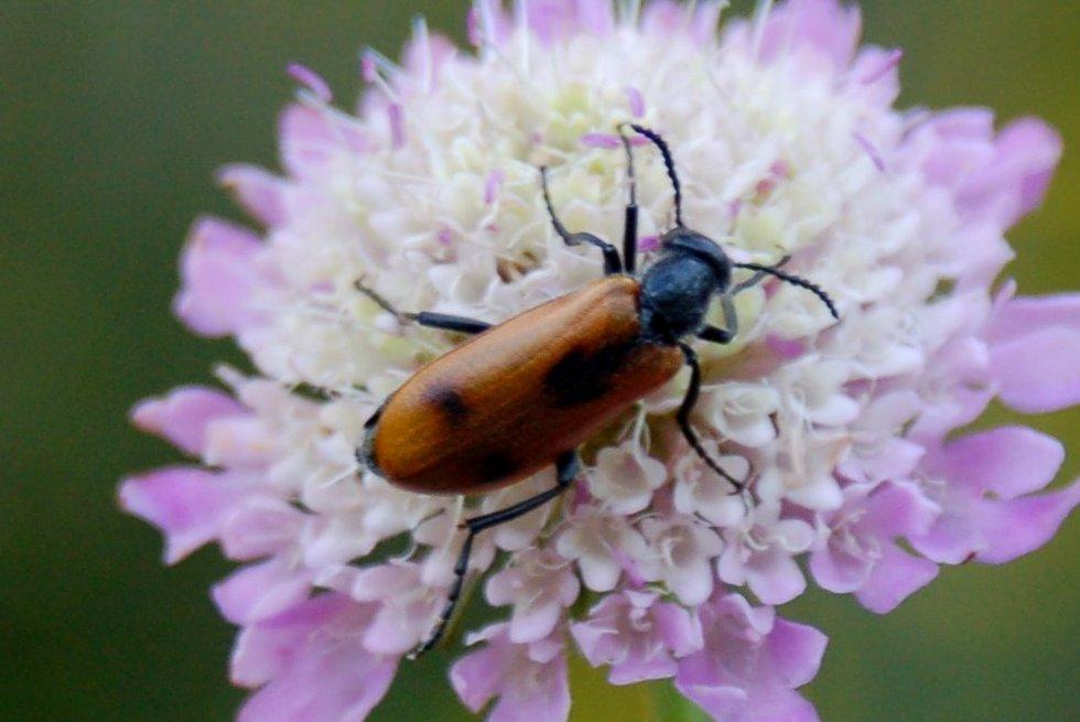 Lydus trimaculatus italicus - Chrysomelidae