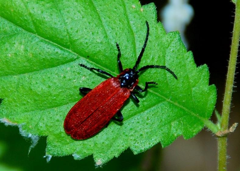 Lygistopterus anorachilus - Lycidae