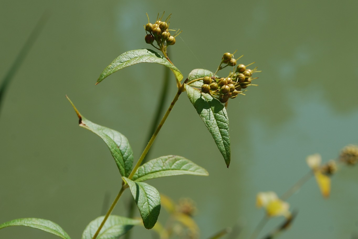 Lysimachia vulgaris 12