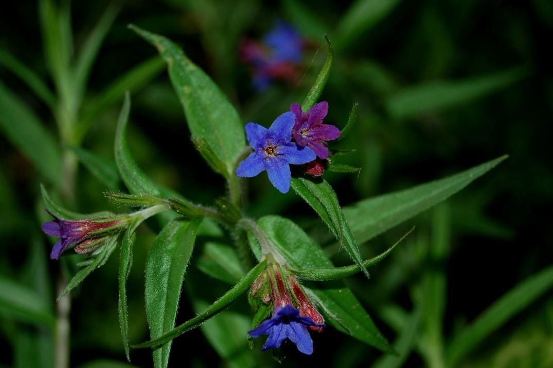Lythospermum purpureocaerulea