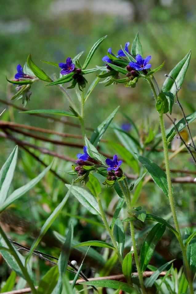 Lythospermum purpureocaerulea 10