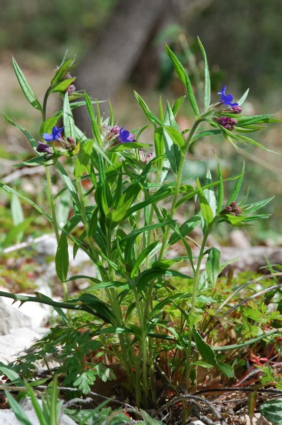 Lythospermum purpureocaerulea 12