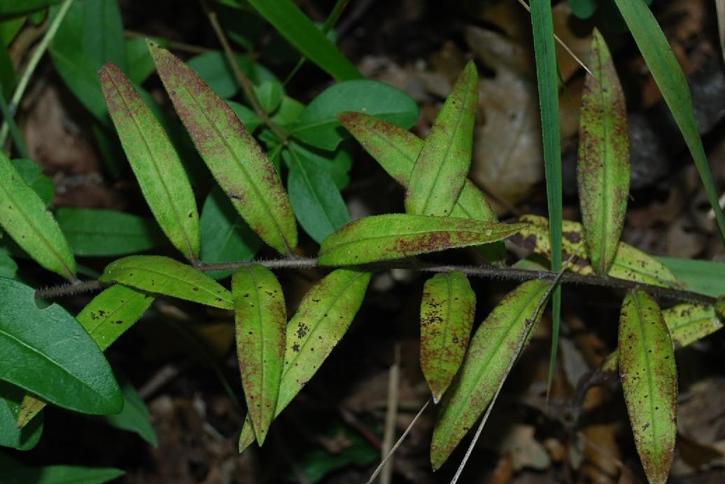 Lythospermum purpurocaerulea 13