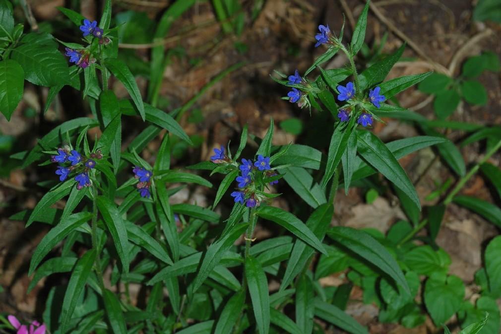 Lythospermum purpurocaerulea  15