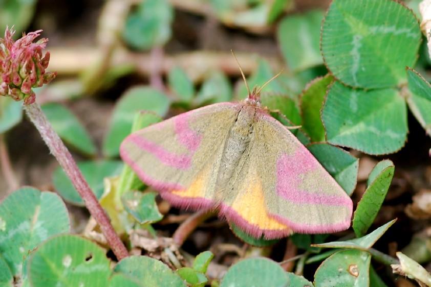 Lythria purpuraria - Geometridae