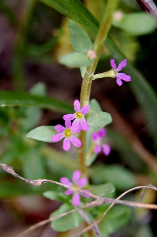 Lythrum hyssopifolia