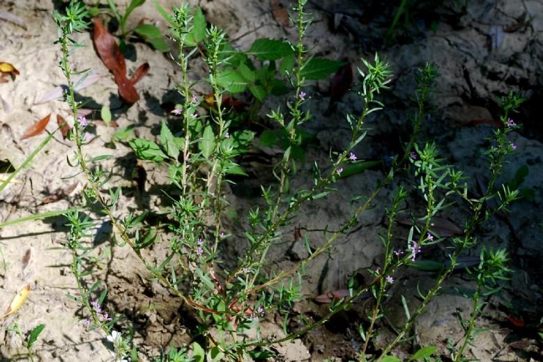 Lythrum hyssopifolia 17
